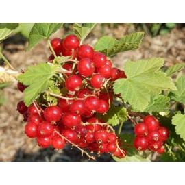 GROSEILLIER Versaillaise rouge