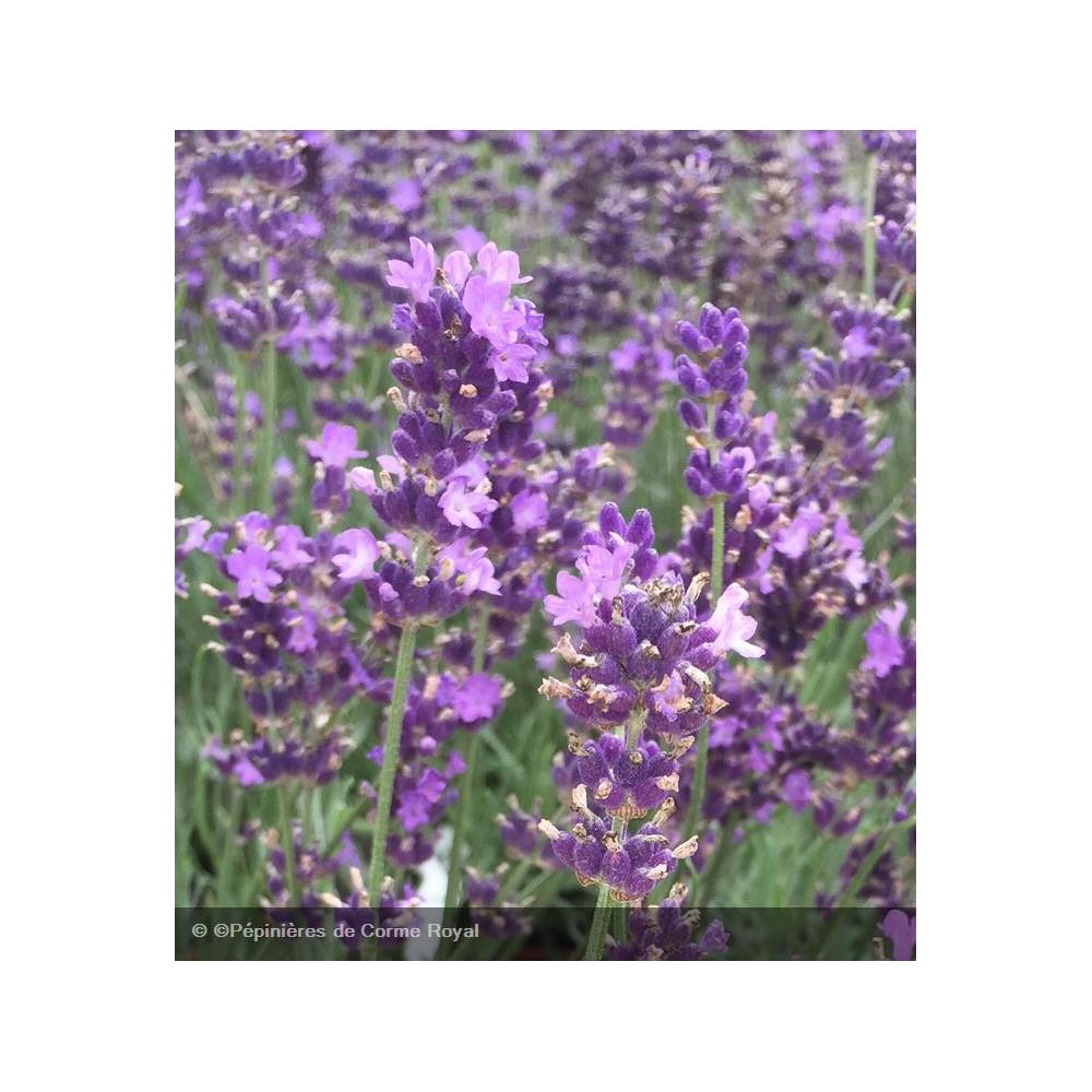 LAVANDULA angustifolia Anna