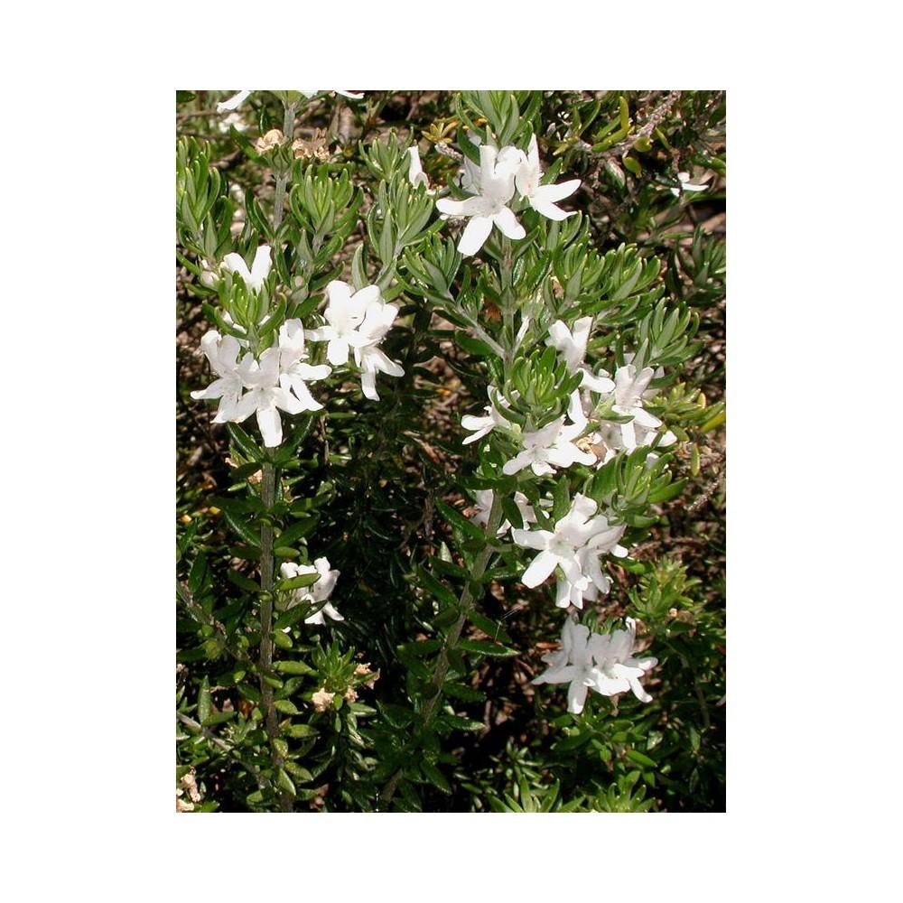 WESTRINGIA fruticosa
