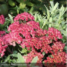 SEDUM Red Cauli