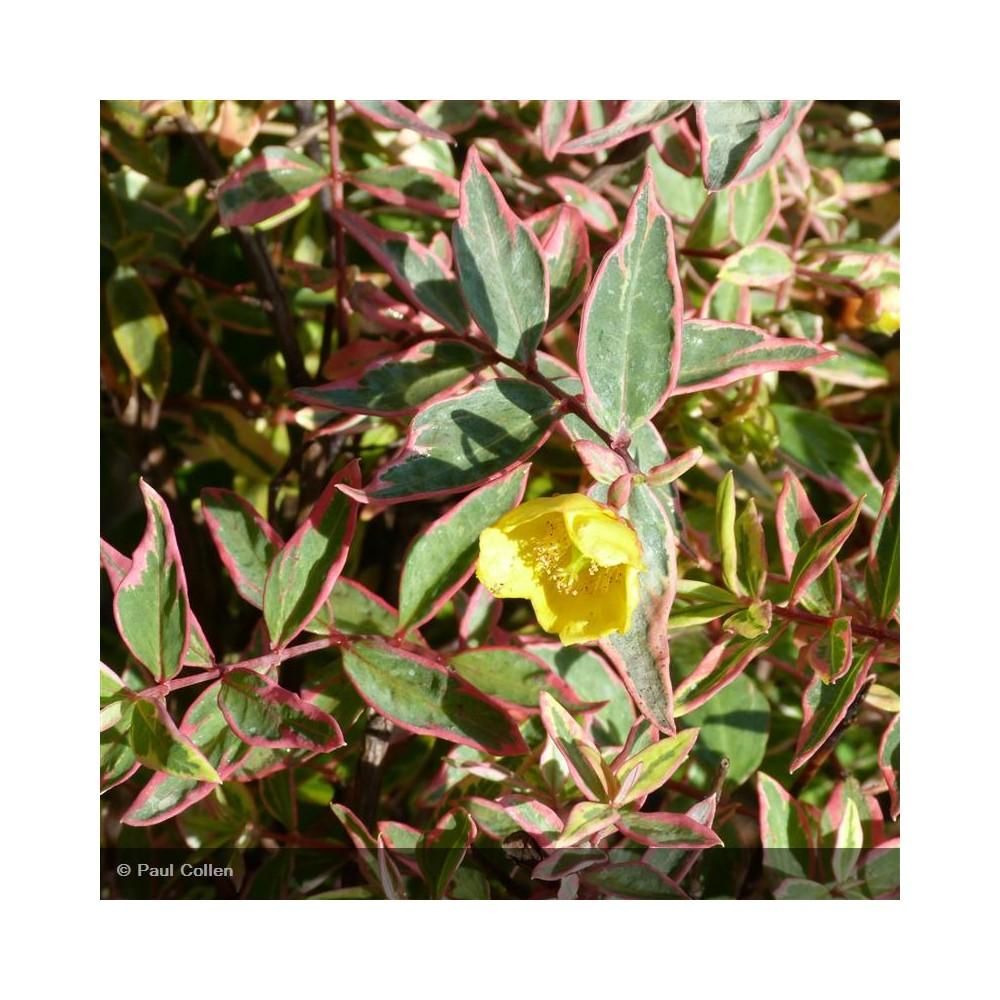 HYPERICUM x moserianum Tricolor