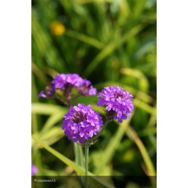 VERBENA canadensis Homestead Purple
