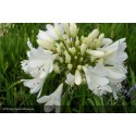AGAPANTHUS Artic Star