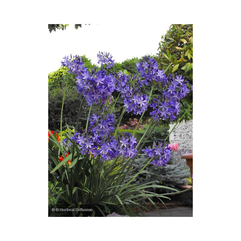 AGAPANTHUS Northen Star®