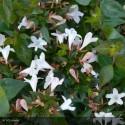ABELIA grandiflora Pisto