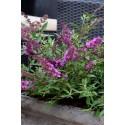 BUDDLEIA flutterby Petite®dark pink