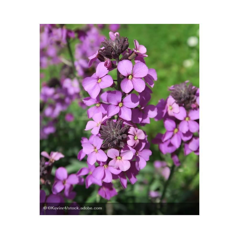 ERYSIMUM linifolium Bowles