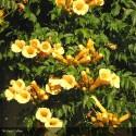 CAMPSIS radicans Yellow Trumpet