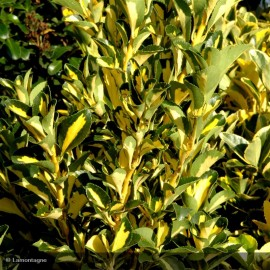 EUONYMUS japonicus Gold Queen