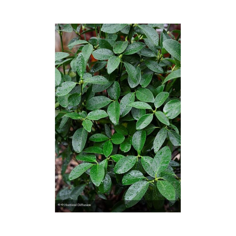 EUONYMUS japonicus Green Millenium®