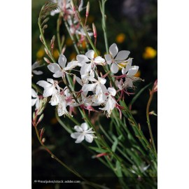 GAURA lhindeimeri Papillon White®