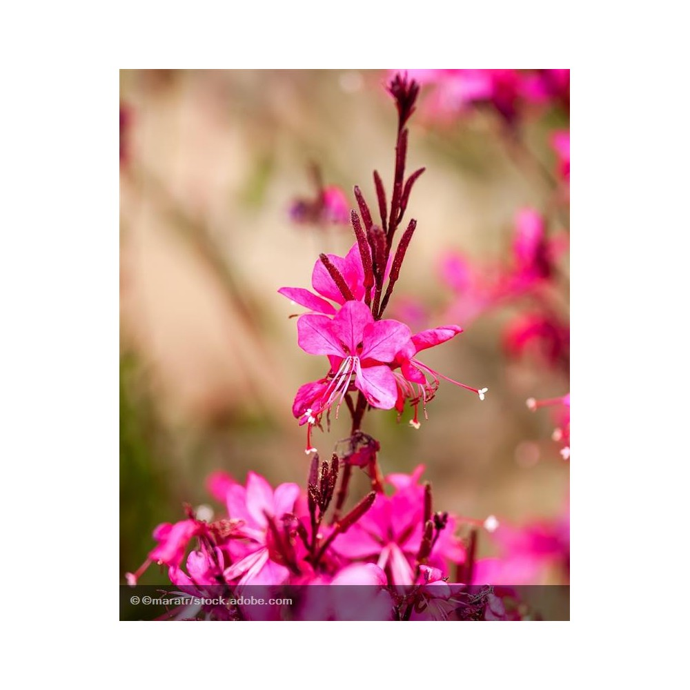 GAURA lindheimeri Red Color