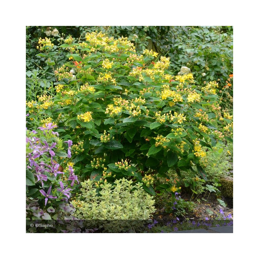 HYPERICUM inodorum Magical Beauty®