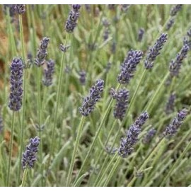 LAVANDULA angustifolia Richard Grey
