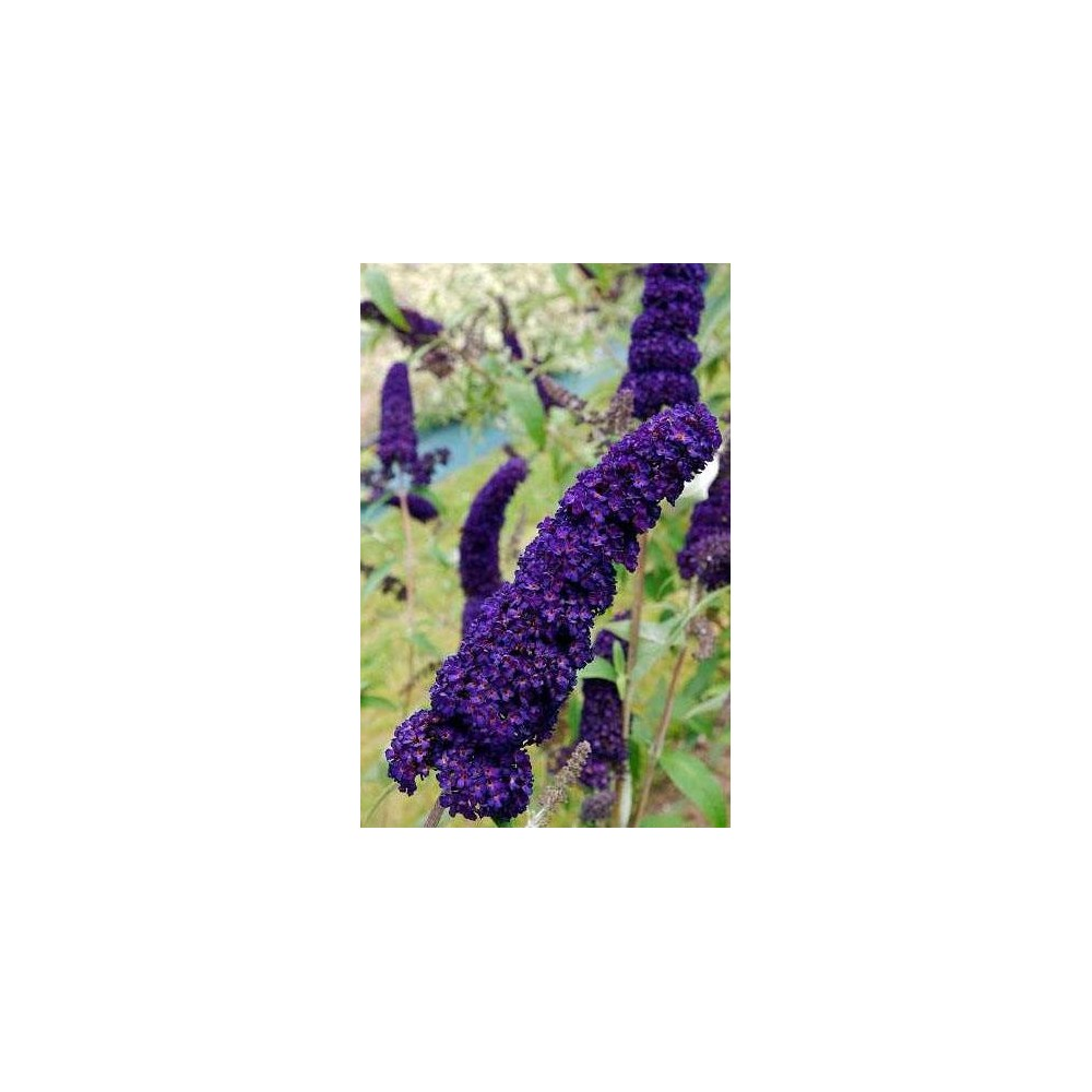 BUDDLEIA davidii Black Knight