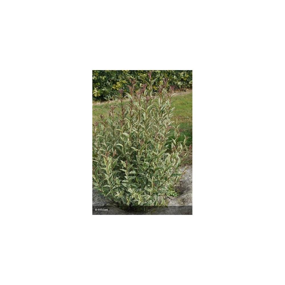LIGUSTRUM japonicum Colombine