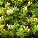 LONICERA japonica Hall's Prolific