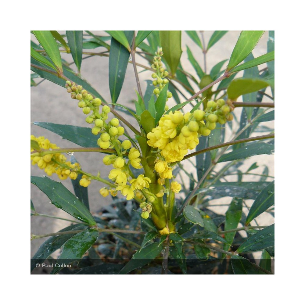 MAHONIA eurybracteata Sweet Winter®