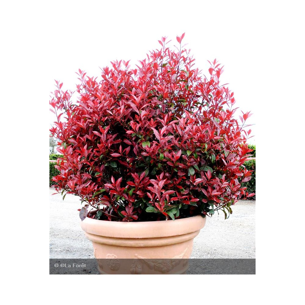 PHOTINIA x fraseri Carré rouge®