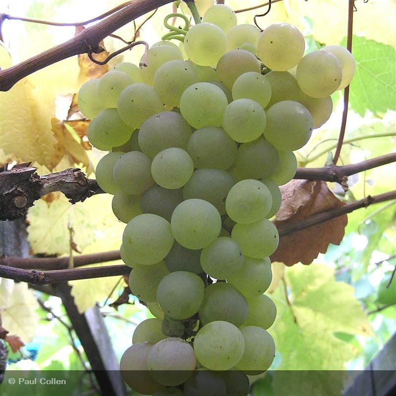 Vigne De Table Chasselas Dore