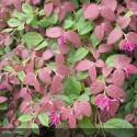 LOROPETALUM chinensis Red Blush