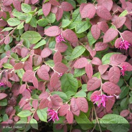 LOROPETALUM chinensis Red Blush