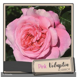 DECOROSIER® Pink voluptia®