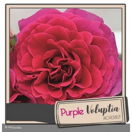 DECOROSIER® Purple voluptia®