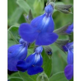 SALVIA jamensis Bleu armor