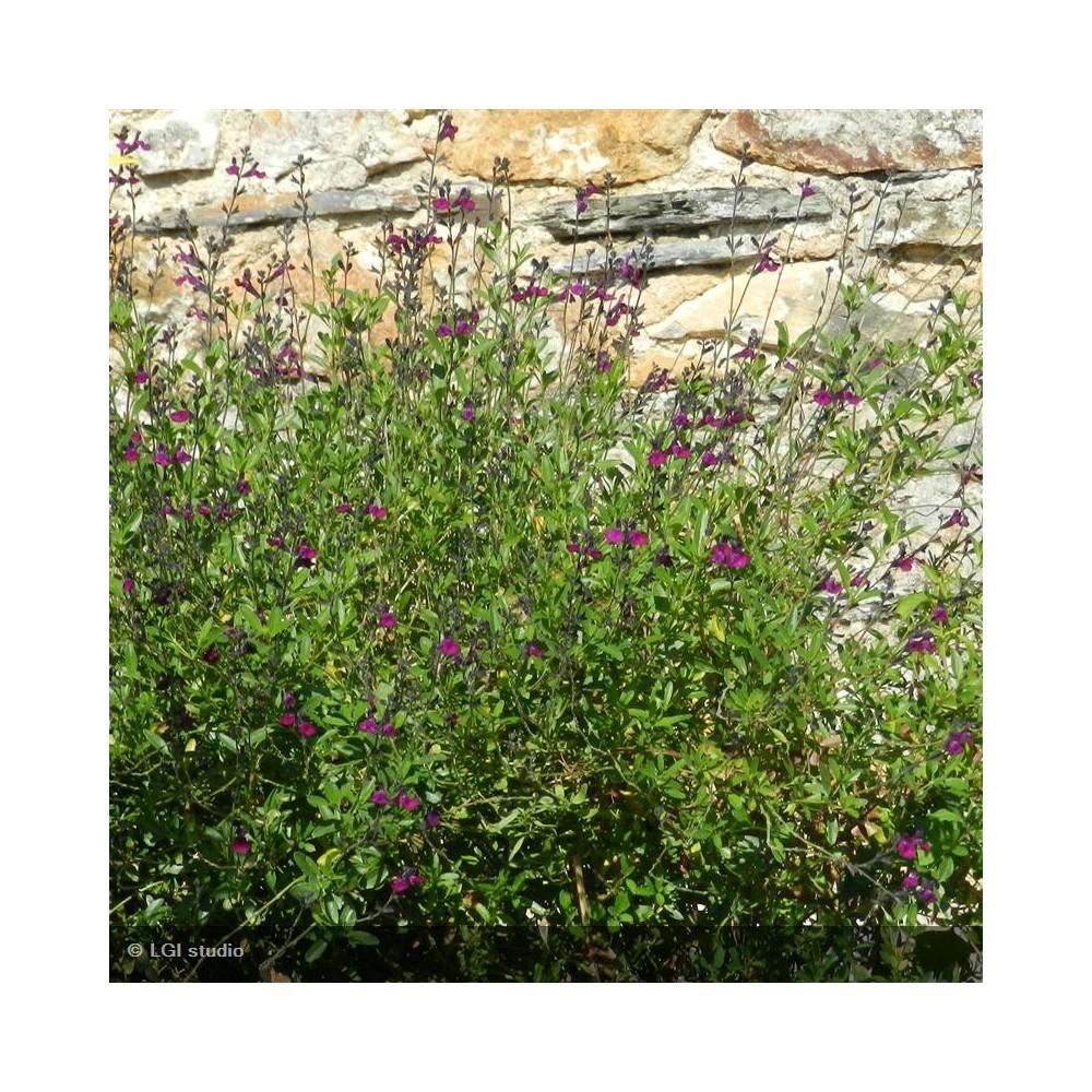 SALVIA jamensis Violette de loire®