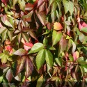 PARTHENOCISSUS quinquefolia