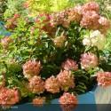 HYDRANGEA Paniculata Diamant rouge®