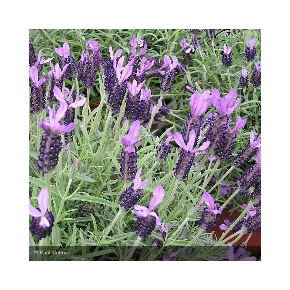 LAVANDULA stoechas Regal Splendor®