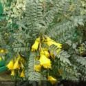 SOPHORA microphylla Sunking®
