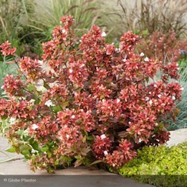 ABELIA grandiflora Mystic day dream®