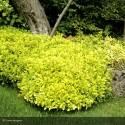 PITTOSPORUM tenuifolium Abbotsbury Gold