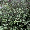 PITTOSPORUM tenuifolium Green Elf