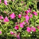 SALVIA microphylla Pink Blush