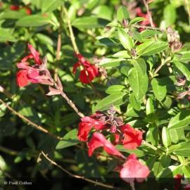 SALVIA jamensis El Duranzo