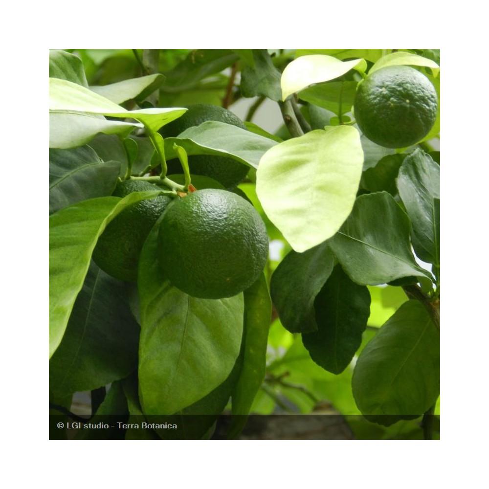 CITRONNIER Lime Tahiti