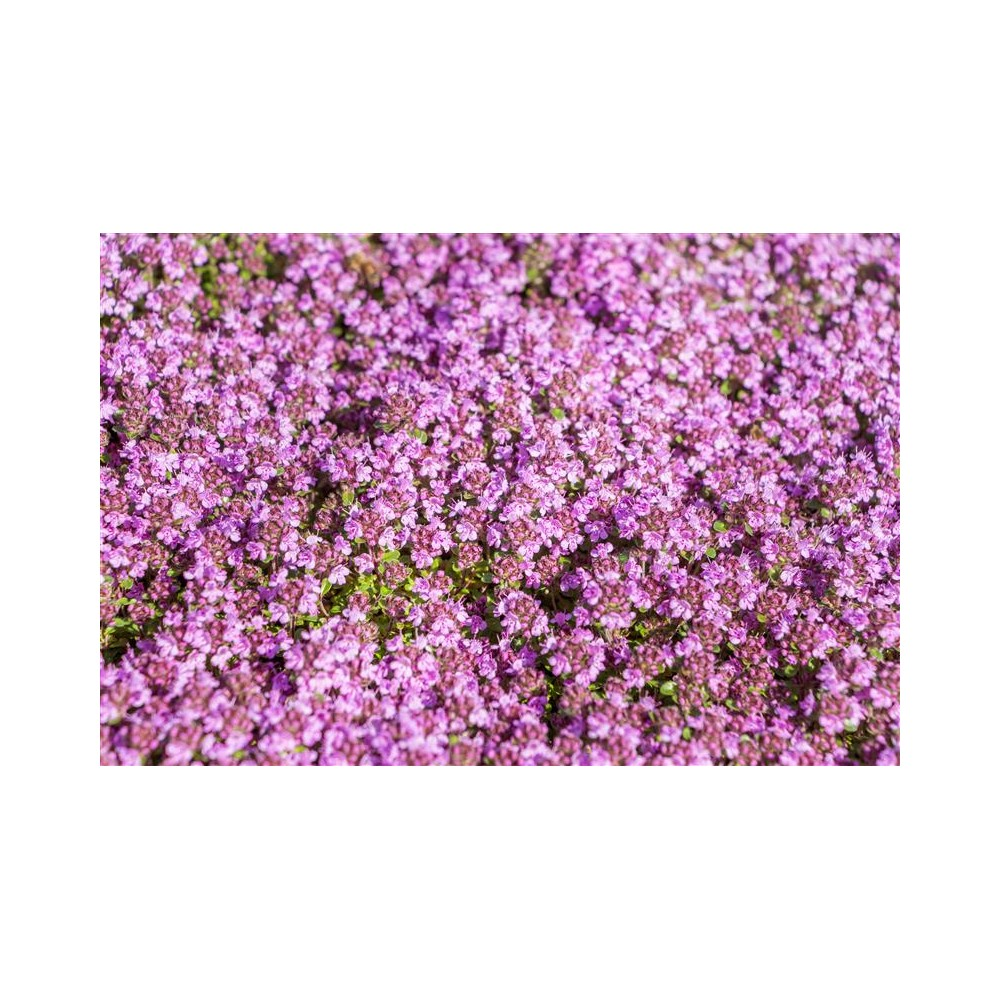 THYMUS praecox Red Carpet