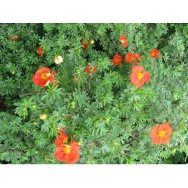POTENTILLA fruticosa Red Joker