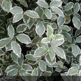 PITTOSPORUM tenuifolium Garnettii