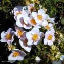 POTENTILLA fruticosa Pretty poly