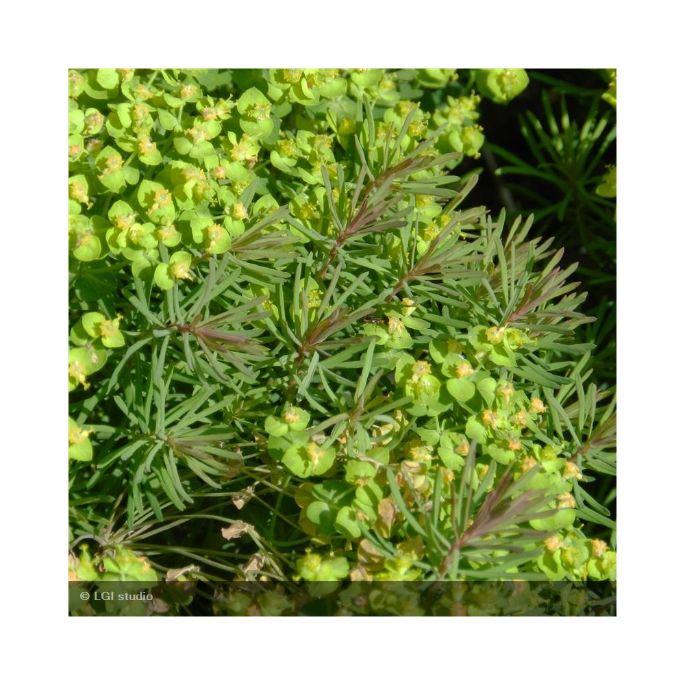 EUPHORBIA cyparissias Clarisse howard