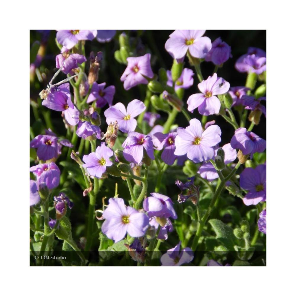 AUBRIETA Cascade blue