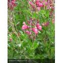 SALVIA microphylla Arctic Blaze® Fuchsia