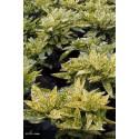 AUCUBA japonica Crotonifolia Aurea