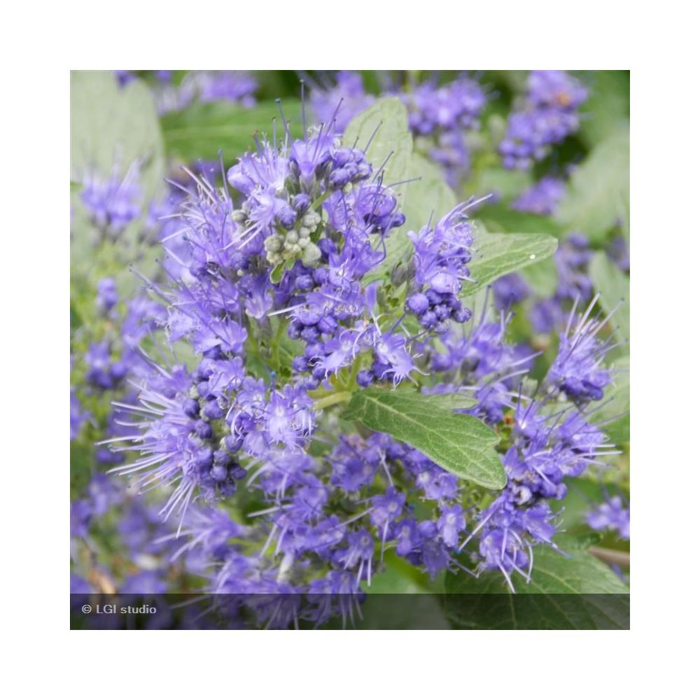CARYOPTERIS x clandonensis Grand Bleu®