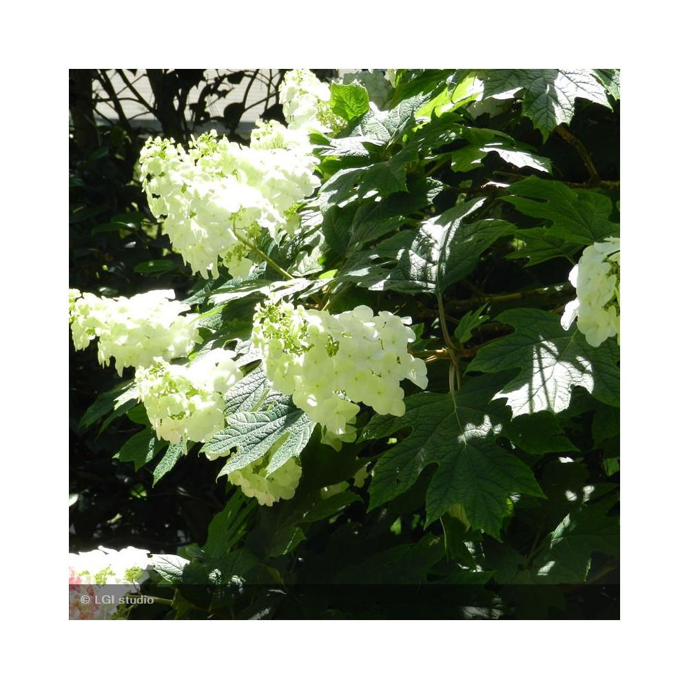 HYDRANGEA quercifolia Snow Queen